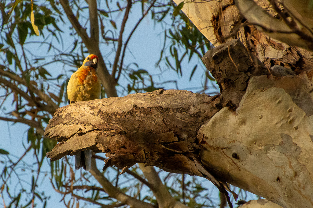 Local parrot